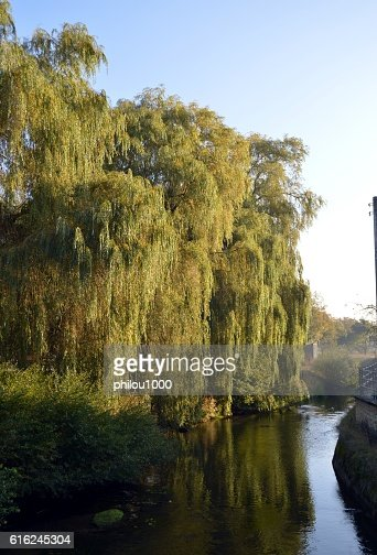 Weeping trees on a river : Foto de stock