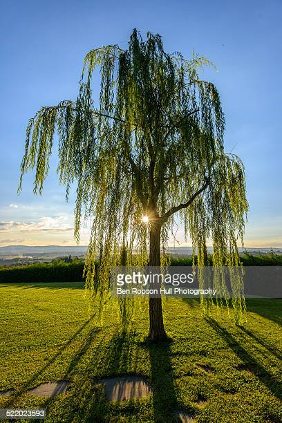 weeping willow at sunset, tuscany, italy