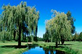 Weeping willow trees on a golf course