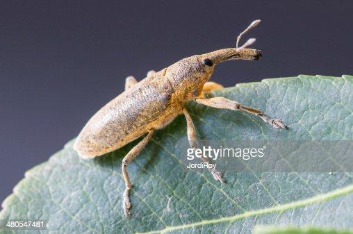 Gorgojo (Lixus angustatus) en una hoja : Foto de stock