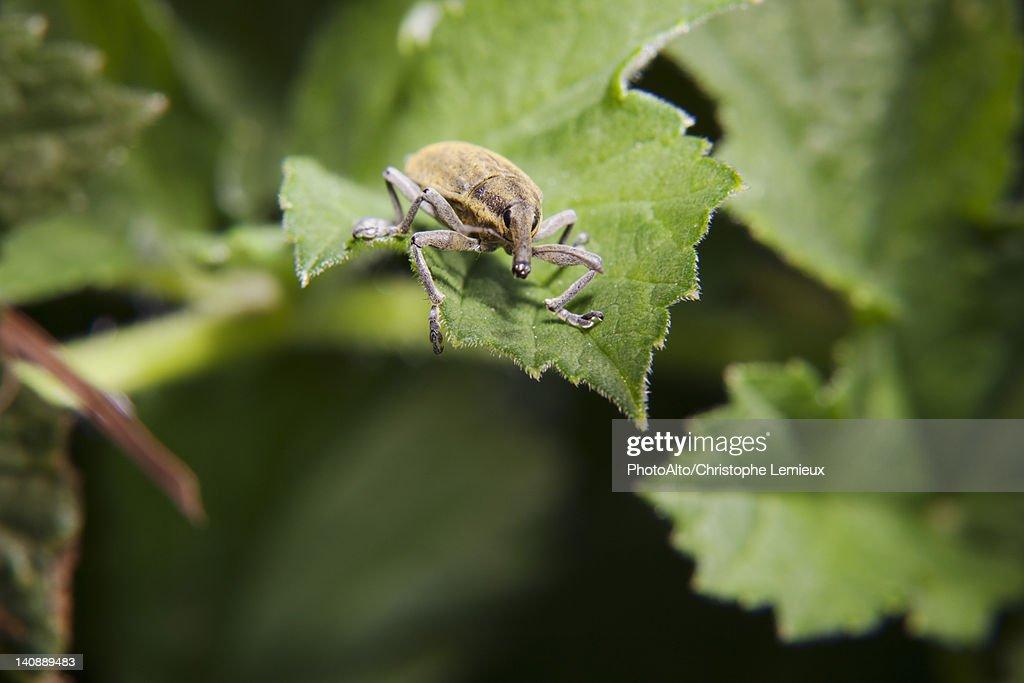 Weevil (Lixus angustatus) on leaf