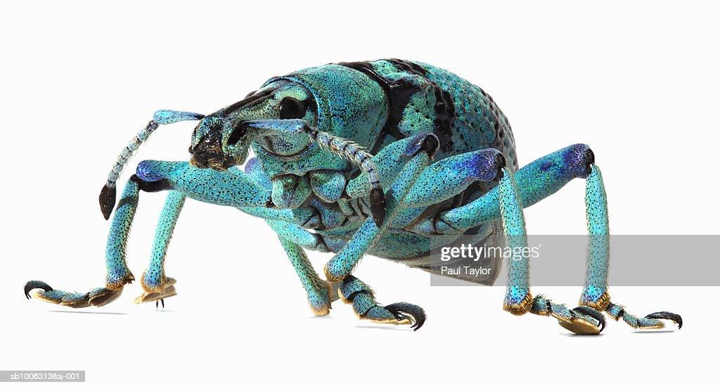 Weevil (Eupholus Schoenherri) on white background