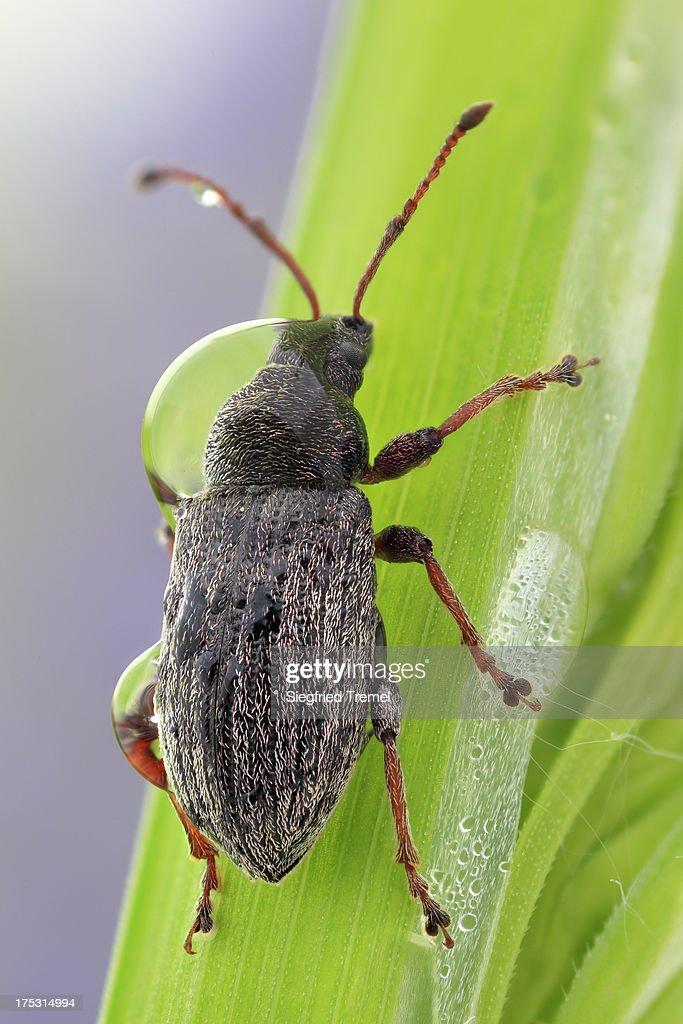 Weevil (Rüsselkäfer)