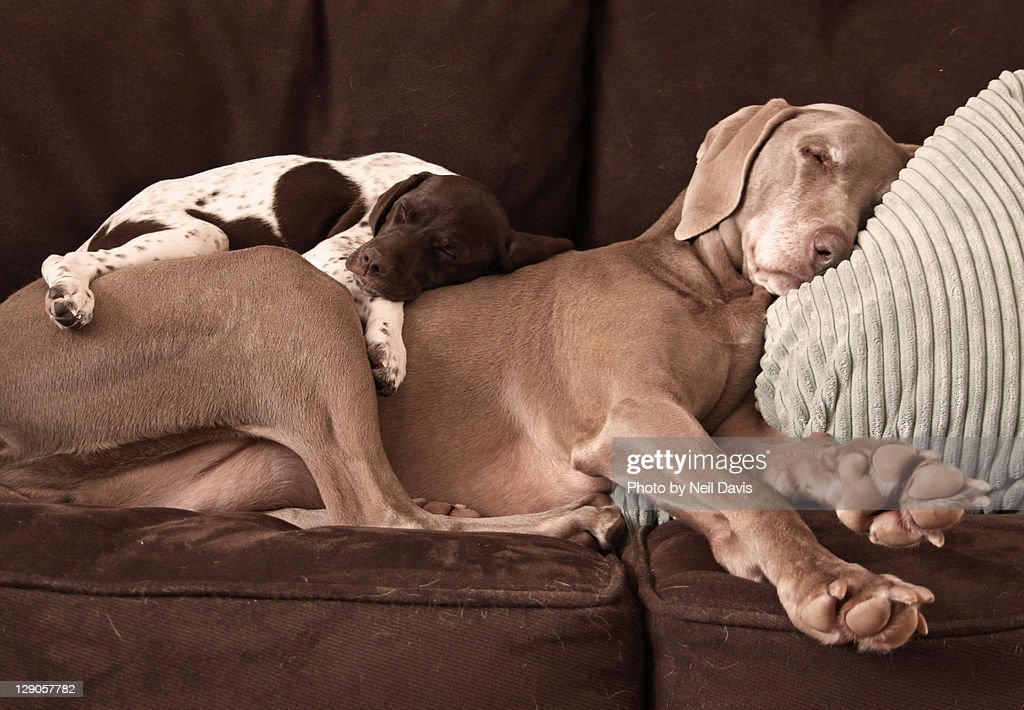 Weimaraner and puppy cuddling