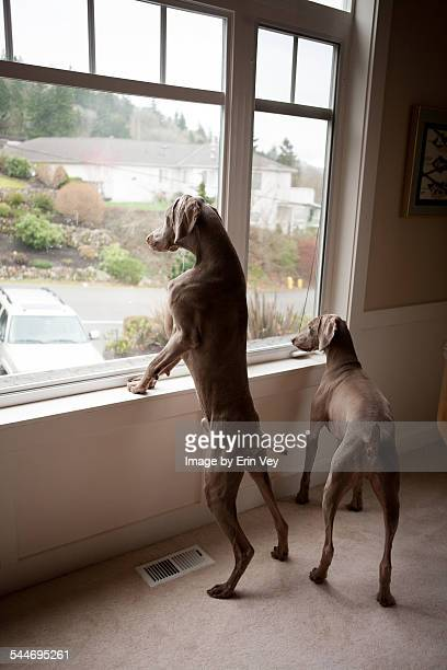 Weimaraner dogs looking out the window