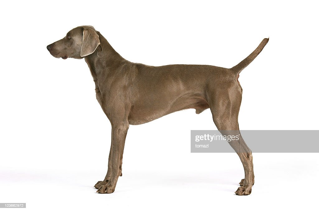 Weimaraner in his typical pose