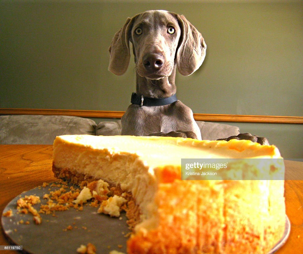 Weimaraner puppy ready to eat cheesecake on the dinner table.