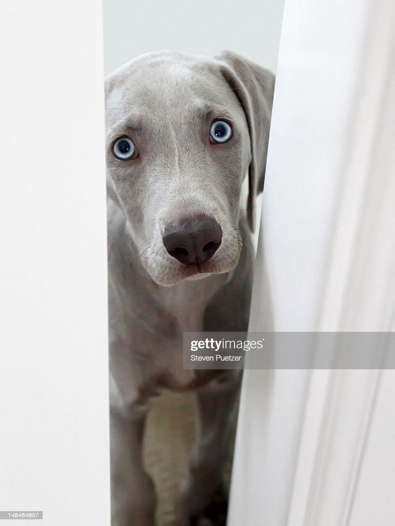 Weimaraner puppy peeking through door