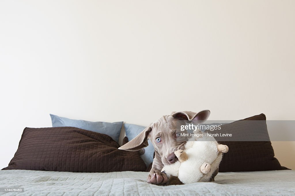A Weimaraner puppy playing on a bed with stuffed toy in its mouth : Stock Photo