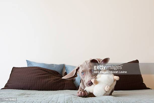 A Weimaraner puppy playing on a bed with stuffed toy in its mouth