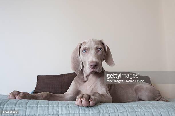 A Weimaraner puppy sitting up on a bed.