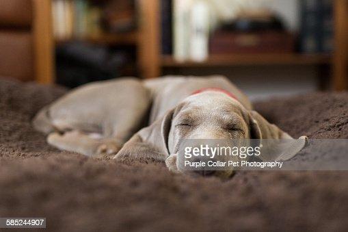 Weimaraner puppy sleeping indoors