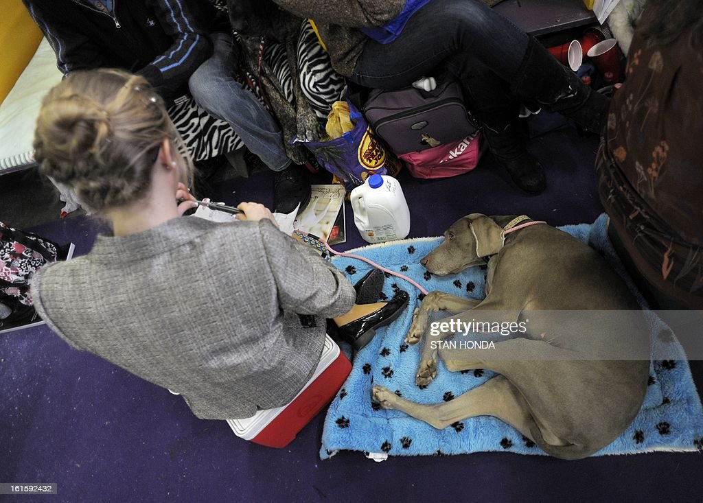 A Weimaraner rests on a blanket at the Westminster Kennel Club Dog Show February 12, 2013 in New York. AFP PHOTO/Stan HONDA