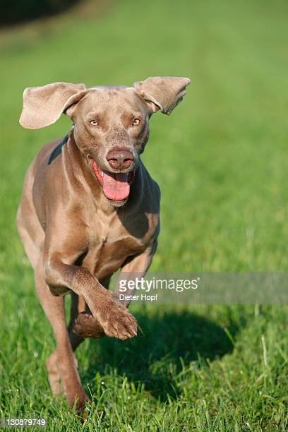 Weimaraner, short hair, hound