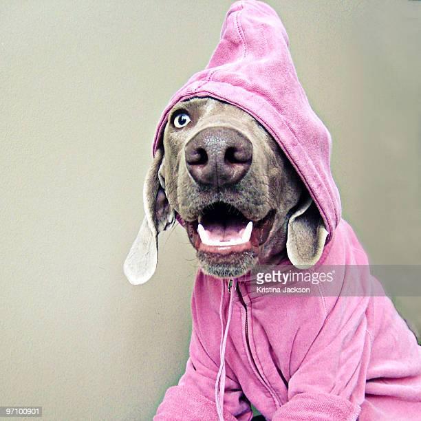 Weimaraner with Pink Hoodie