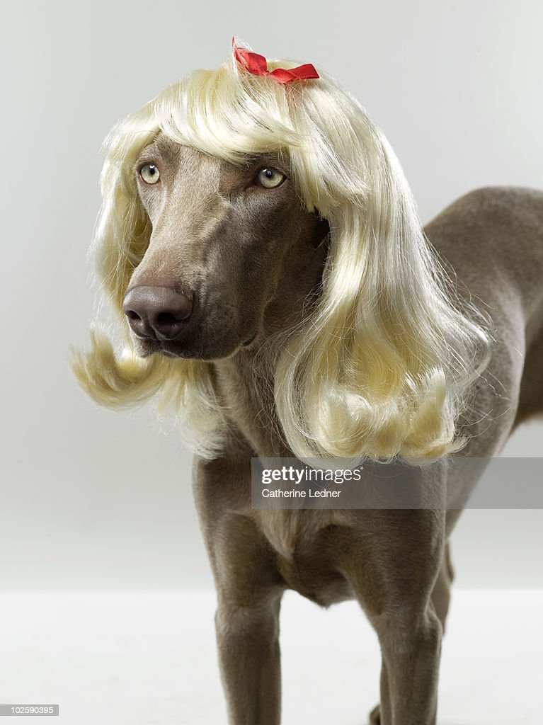 Weimaraner (Canis lupis familiaris) with wig. : Stock Photo