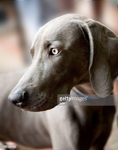 Weimararner Puppy Dog