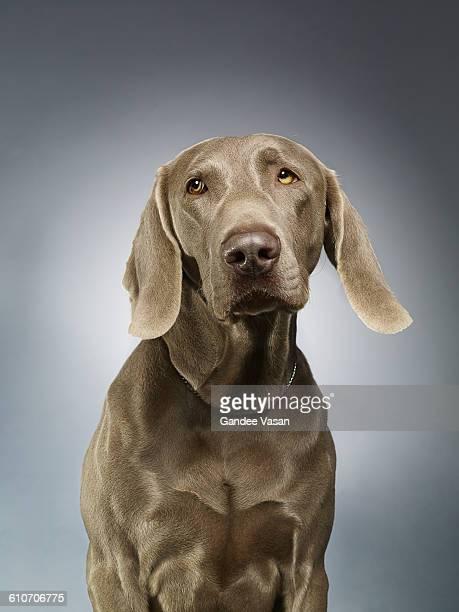 Weimerarner Dog