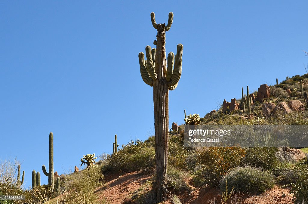 Weird Cactus, Apache Trail, Arizona