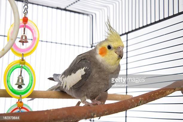 Weiro dans une Cage