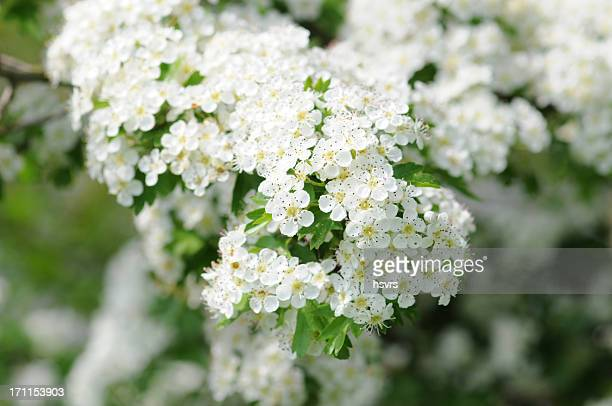 Weissdorn - Hawthorn or thornapple