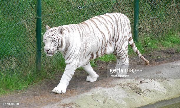 Weisser Tiger SerengetiPark Hodenhagen Niedersachsen Deutschland Europa Freizeitpark Vergnügungspark Raubtier Tier Reise