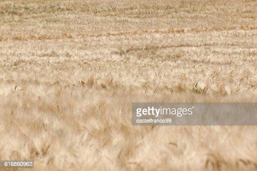 Weizenfeld : Stock Photo