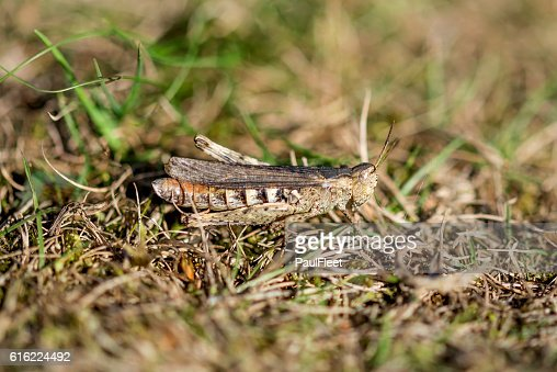 Well camouflaged Field Grasshopper : Stock-Foto