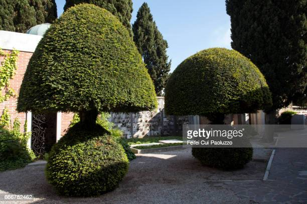 Well cutted Thuja tree at cemetery of San Michele, Venice