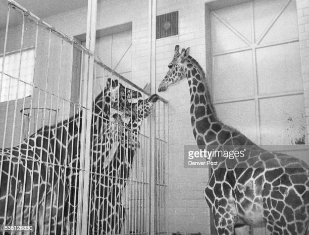 NOV 7 1958 'Well hello girls' One of the first orders of business for Socrates was to meet the four female giraffes at the Cheyenne Mountain zoo They...