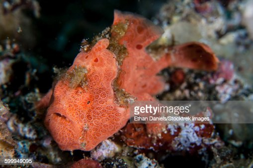A well-camouflaged frogfish waits to ambush prey.