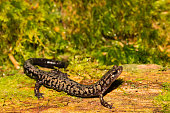 A close up of a Weller's Salamander foraging on a mossy log.