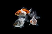 Zdjęcie stockowe, zwierzęta, akwarium, fototapeta, Złota rybka wyizolowana na czarnym tle