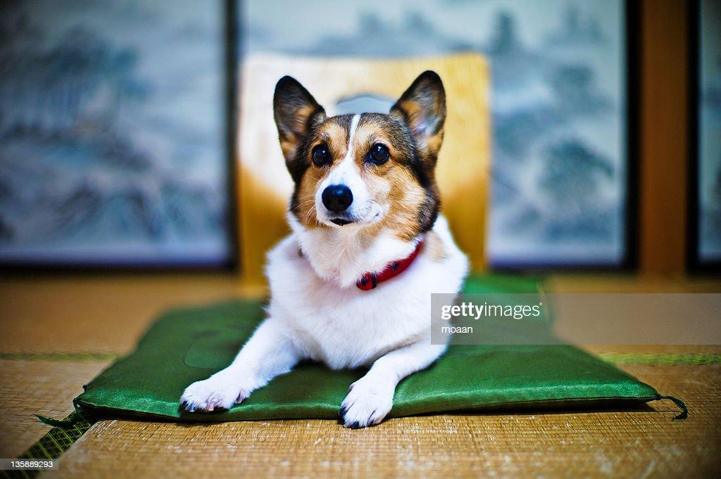 Welsh Corgi dog : Stock Photo