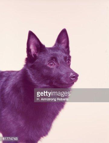 Welsh corgi dog. : Stock Photo