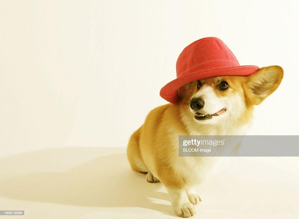 Welsh Pembroke Corgi Wearing Hat