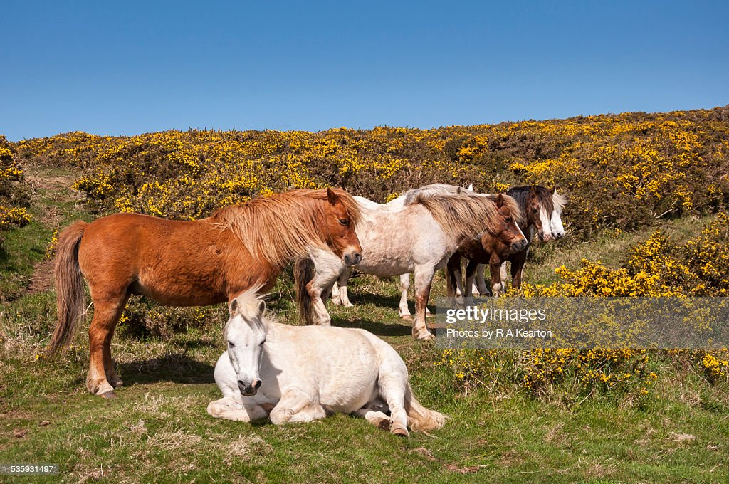 Welsh ponies relaxing in spring sunshine : Stock Photo