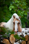 Welsh pony stallion standing near firewood in forest.