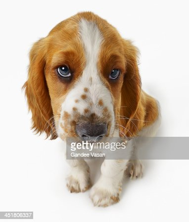 Welsh Springer Puppy