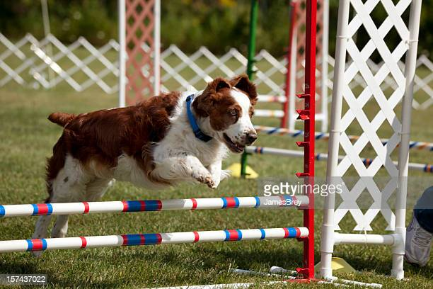 Welsh Springer Spaniel Dog Running, Jumping in Agility Competition