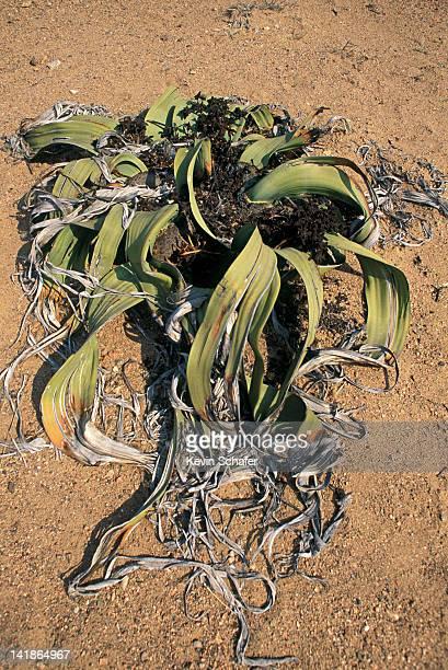 Welwitschia mirabilis, an ancient plant, Namib Desert, Namibia