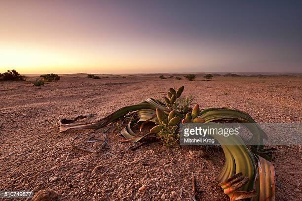 Welwitschia mirabilis in Namibia Desert Landscape