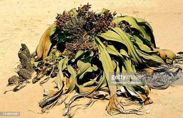 Welwitschia Mirabilis Namibia Africa