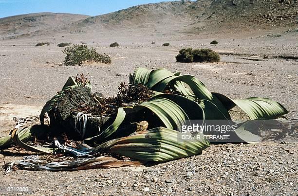 Welwitschia mirabilis Welwitschiaceae Namib Desert Namibia