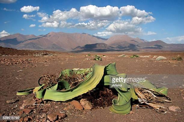 Welwitschia plant in the Namib desert at Brandberg Namibia South Africa