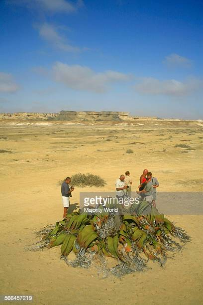 Welwitschia plant one of the world longest living plants that live to 1500 years Found in the Namib Desert pictured here in Angola