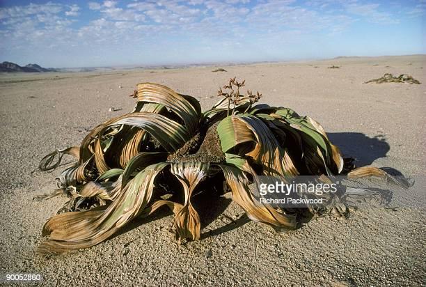 welwitschia welwitschia mirabilis male, growing in namib desert, namibia