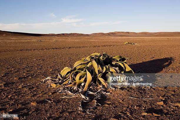 Welwitschia, Welwitschia mirabilis, Messum Crater, Namibia, Africa