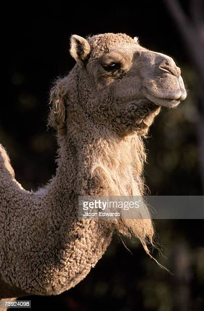 Portrait of a Dromedary Camel's head, woolly coat and neck in profile.