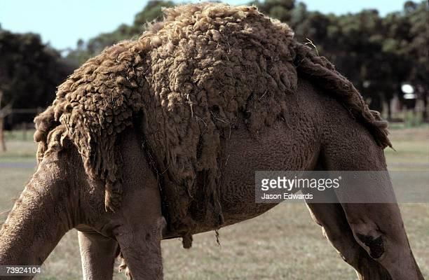A Dromedary Camel sheds it's moulting furry woollen winter coat.